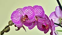 Orchid Holiday